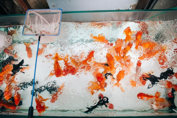 Goldfish__04